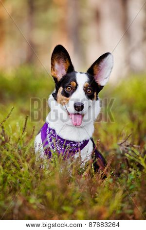 welsh corgi dog posing in the forest