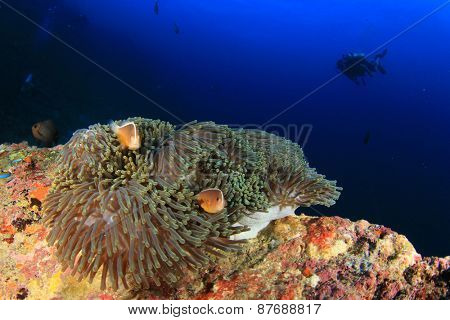 Anemone, clownfish and scuba diver