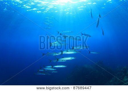 Barracuda fish school in blue water