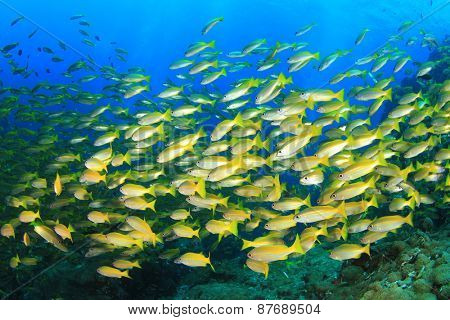 Fish shoal on coral reef (Bigeye Snappers)