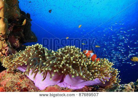 Anemone and clownfish (Nemo)