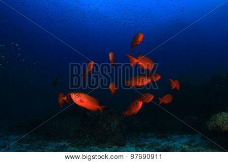 Red fish on coral reef: Crescent-tailed Bigeyes