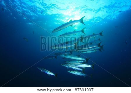 Pickhandle Barracuda fish