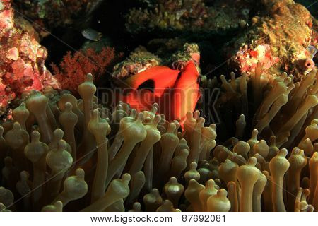 Tomato Anemonefish