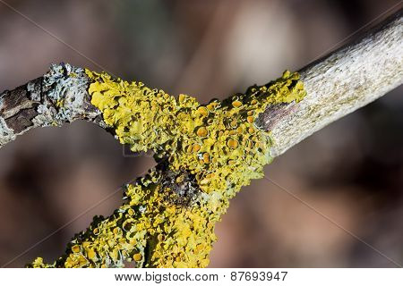 Yellow lichen growing on a tree branch