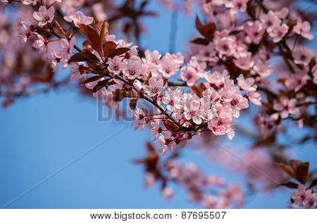 Beautiful Sprig Of Cherry  Blossom Flower. Soft Focus.