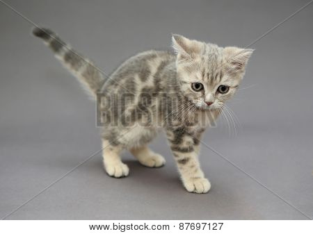 Little British Kitten Marble Color With Big Eyes