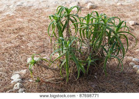 Aloe Bush