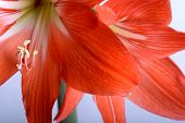 image of gladiolus  - flowers close up - JPG