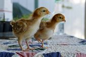 stock photo of poultry  - Rhode Island Red chicken poultry beautiful American breed - JPG