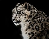 image of snow-leopard  - Profile portrait of a Snow Leopard Against a Black Background - JPG