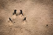 stock photo of stomp  - Dog paw prints on the sand - JPG