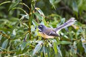 picture of flush  - New Zealand fantail  - JPG