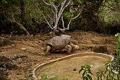 stock photo of darwin  - Giant tortoise - JPG