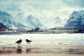 image of lofoten  - birds and mountain peak on Lofoten beach in spring season - JPG