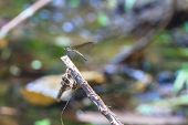 picture of dragonflies  - beautiful dragonfly resting on a branch in forest - JPG
