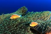 stock photo of skunk  - Skunk Anemonefish  - JPG