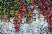 stock photo of creeper  - Colorful autumn creeper plants growing over a rought old brick wall - JPG