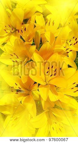 Beautiful Sunny Lily