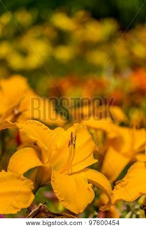 Beautiful yellow day lily flower