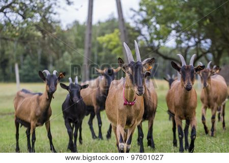 Herd Of Goats On Pasture
