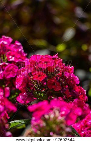 Hydrangea or hortensia red flower