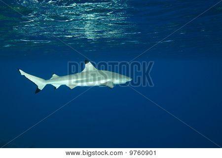 Blacktip Reef Shark Carcharhinus Melanopterus