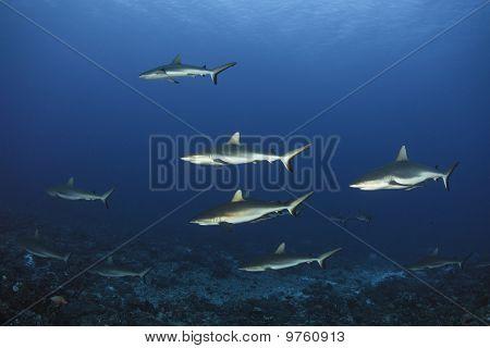 Grey Reef Shark Carcharhinus Amblyrhynchos