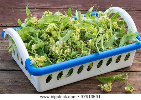 Many Linden Flowers In A Basket For Herbal Medicine