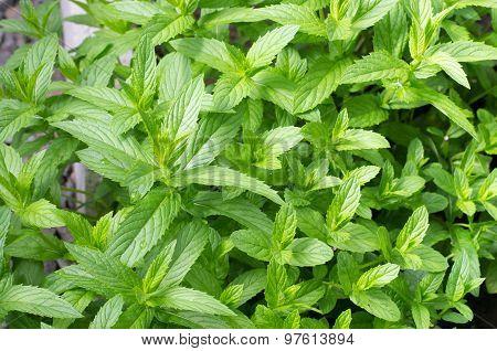 Fresh Mint Leaves In Garden