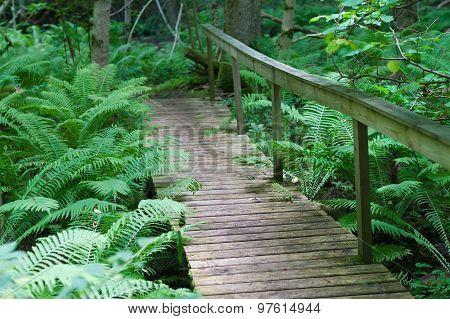 Wooden Bridge On A Hiking Trail Through Dense Fern Forest