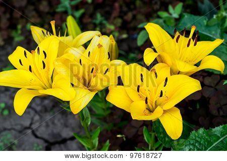 Beautiful Bright Yellow Lily