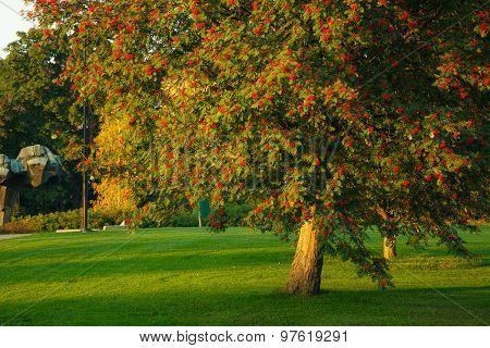 Big rowan tree and ripe berries