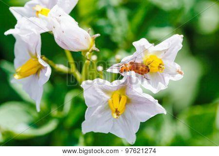 Red Beetle In Potato Flower