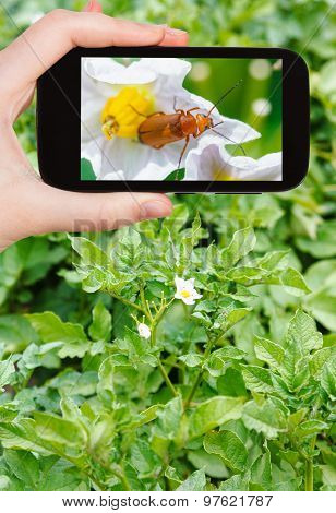 Tourist Takes Picture Of Potato Flowers On Field