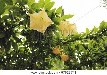 Blooming Brugmansia