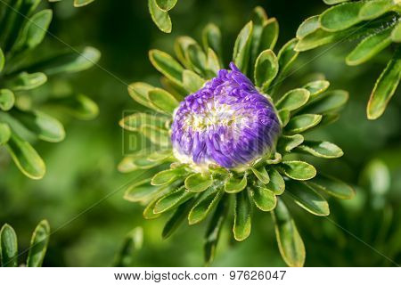 Blue Aster Flower Bud Close Up