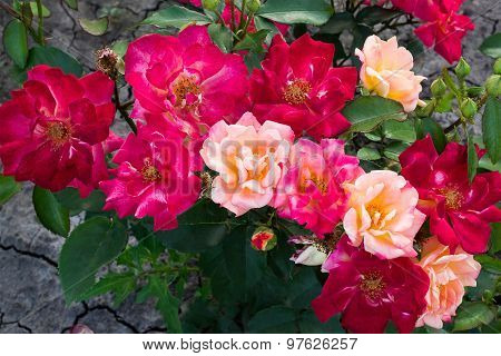 Shrub Rose With Flowers Of Different Colors