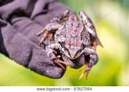 Frog Sitting On A Hand In Glowes