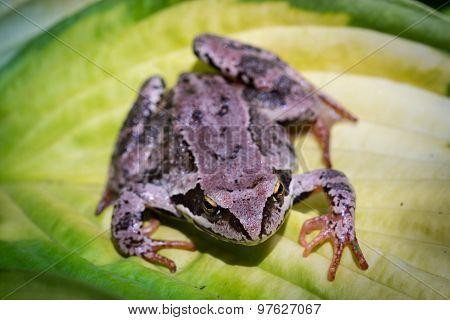 Frog On A Hosta Leaf