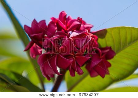 Hawaiian dark red plumeria