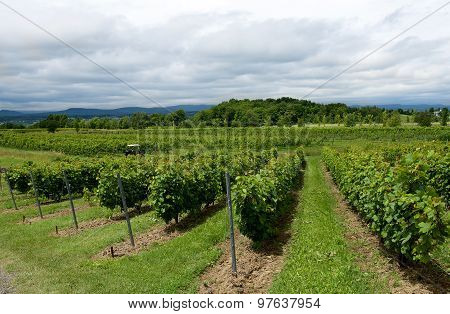 Summer season background with grapes fields in the vineyard and nice blue cloudy sky background