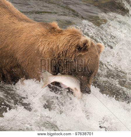 Brown Bear Catching Salmon At Brooks Falls