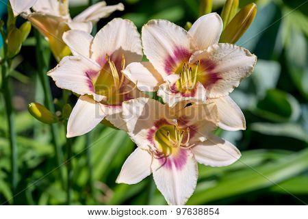Beautiful Day-lily Flower (hemerocallis)