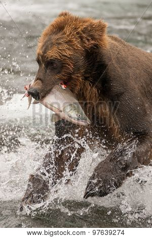 Brown Bear Holding Salmon In White Water