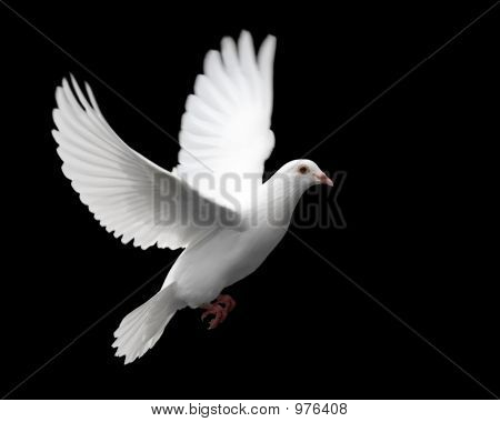 White Dove In Flight 1