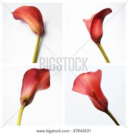 Red Calla On A White Background