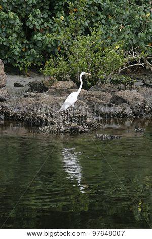 Great Egret Bird Standing On The Rock
