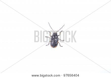 Black Bug On A White Background