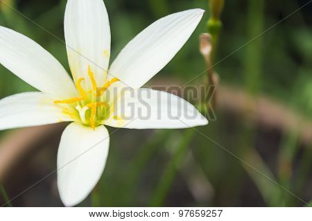 White Zephyr Lily, Zephyranthes Candida
